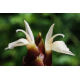 Graines de Zingiber montanum