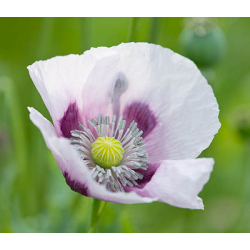 Graines de Papaver somniferum Single Lilac