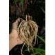 Graines de Tulbaghia capensis