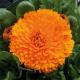 Graines de Calendula officinalis Costa Orange