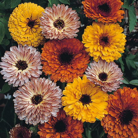 Graines de Calendula Touch of Red Mix