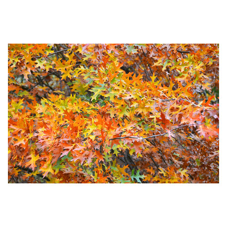 Graines de Quercus rubra