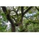 Graines de Quercus virginiana
