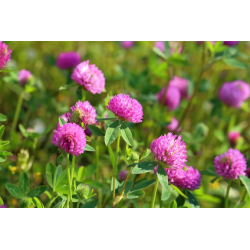 Graines de Trifolium rose
