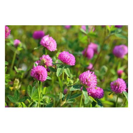 Graines de Trifolium rose