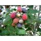 Graines de Rubus ursinus