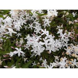 Graines de Jasminum lanceolaria Scortechinii