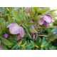Graines de Helleborus purpurascens
