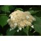Graines de Hydrangea petiolaris