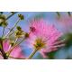 Graines de Albizia julibrissin rosea