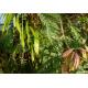 Graines de Acacia baileyana