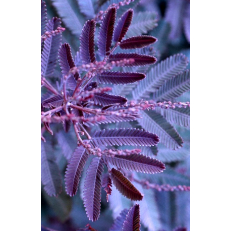 Graines de Acacia baileyana purpurea