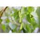 Graines de Betula jacquemontii