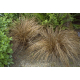 Graines de Carex Comans Bronze