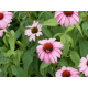 Graines de Echinacea purpurea Bravado rose
