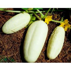Graines de Concombre Blanc hâtif AB