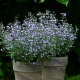 Graines de Calamintha nepeta 'Marvelette Blue'