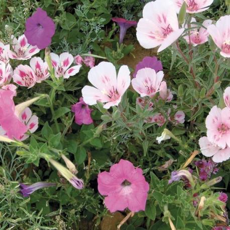 Graines de Mélange Prairie Rose 1