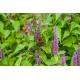 Graines de Agastache foeniculum