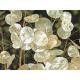 Graines de Lunaria biennis