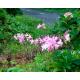 Graines de Amaryllis belladonna