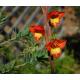 Graines de Gladiolus dalenii