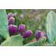 Graines de Opuntia Purple Fruit
