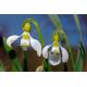 Graines de Galanthus elwesii