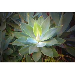 Graines de Agave attenuata subsp. attenuata