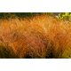 Graines de Carex Testacea Prairie Fire