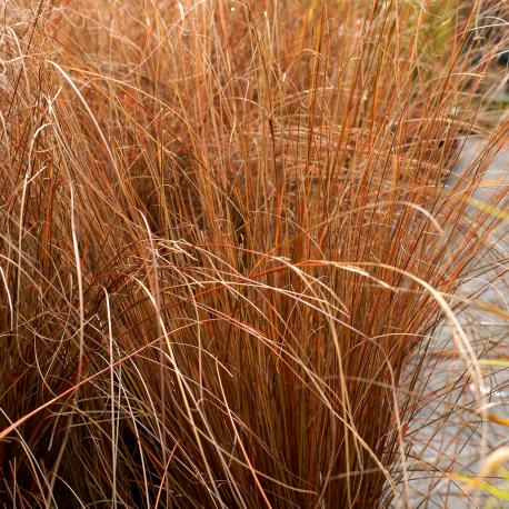 Graines de Carex buchan. Firefox