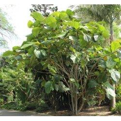Graines de Ficus habrophylla