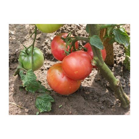 Graines de Tomate Rose de Berne AB