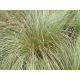 Graines de Carex flagellifera Vert