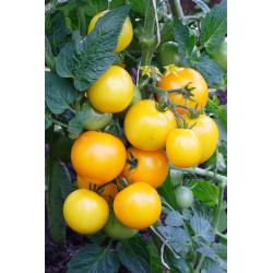 Graines de Tomate jaune d'Espagne