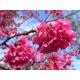 Graines de Prunus campanulata