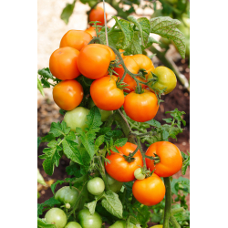 Graines de Tomate Tangerine