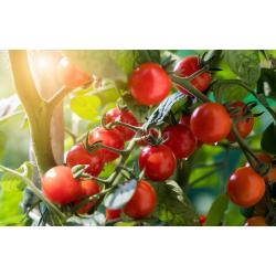 Graines de Tomate Matt's Wild cherry AB