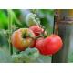 Graines de Tomate Joyces strain AB