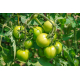 Graines de Tomate Doctors frosted AB