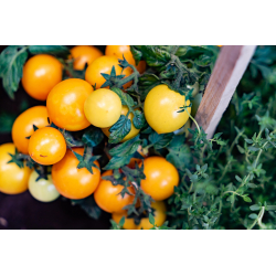 Graines de Tomate Golden cherry AB