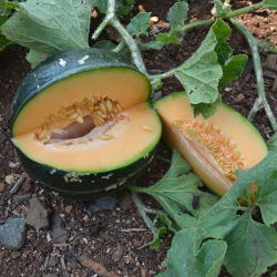 Graines de Melon Noir des Carmes AB