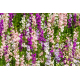 Graines de Delphinium ajacis