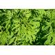 Graines de Artemisia annua