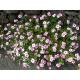 Graines de Catharanthus roseus