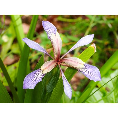 Graines de Iris foetidissima