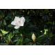 Graines de Magnolia grandiflora