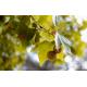 Graines de Platanus acerifolia