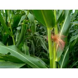 Graines de Mais Pop Corn AB