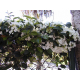 Graines de Stephanotis floribunda